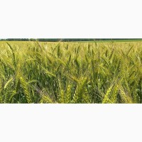 Семена озимой пшеницы Лира Одесская (доступна держ компенсация)