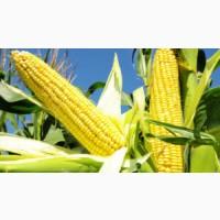 Продаємо насіння гібриду кукурудзи Гран 310 від ВНІС