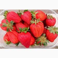 Полуниця Азия (Asia Strawberry) саджанці полуниці Фріго