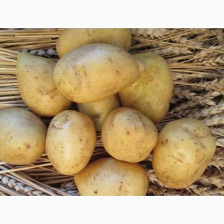 Картопля насіннєва сорт Гала 2 репродукція
