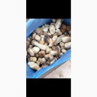 Продам белый гриб