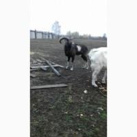 Продам дикого горного козла : ручной, вырос в частном хозяйстве