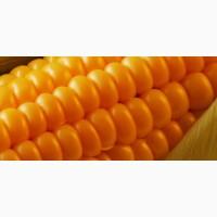 Куплю кремнистую кукурузу