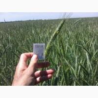 Продам высокоурожайные семена озимого тритикале Шаланда ( урожай 2021 ) цена договорная