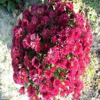 Срочно продам шаровидные хризантемы