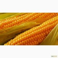 Продам Кукурузу 500 тонн