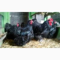 Продаю инкубационные яйца кур породы Орпингтон черный