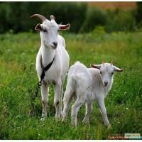 Продаю своих коз и козлят Брусиловский р-н