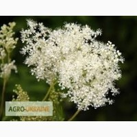 Таволга (лабазник, гадючник) трава