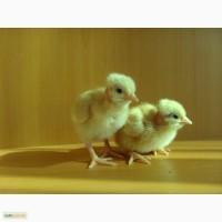 Цыплята Испанка голошейка