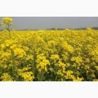 Семена Рапса Озимого Бучацький/ Насіння Ріпак озимий - вегетація 310 днів