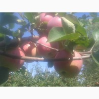 Яблоки Слава Победителям., продам