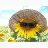Продам насіння соняшнику Ауріс