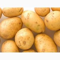 Фермерское хозяйство реализует оптом семенной картофель сорта Ривьера