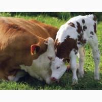 Закуповуемо велику рогату худобу (коровы, бычки, телки, телята, лошади), Дорого
