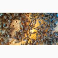 Продам бджолопакети Карпатка
