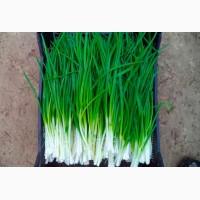 Зелений лук перо