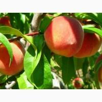 Продам саджанці (саженцы) персика. ОПТ