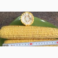 Продам високоурожайну кукурудзу ВН 6763 (ФАО 320)