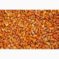 Кукуруза сортовая