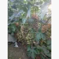 Продам виноград с поля