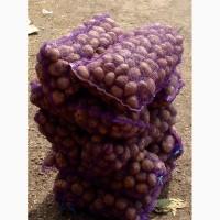 Продам товарну картоплю copта рів#039;єра, Белла Росса