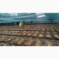 Улитки Helix Aspersa Maxima, маточное стадо, молодняк, выращивание