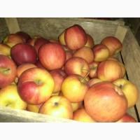 Продам яблука, сорт: голден, айдаред, флоріна, Ліза
