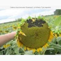 Семена подсолнечника Командор, устойчив к 7 рас заразихи