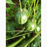 Продам семена овощных растений