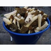 Продаю весняні гриби сморчки