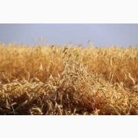 Рожь (жито) озимой гибрид Пикассо KWS