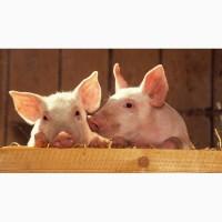 Продам свиней живою вагою та маленьких поросят