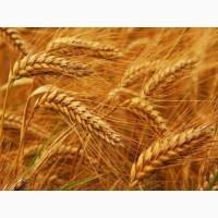 Продам Насіння озимої пшениці Скаген, Saaten Union