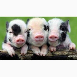БМВД - Гровер 15% для свиней ж.в. від 30 -32кг