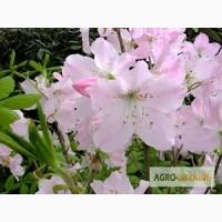 Продам посадковий матеріал декоративних і квіткових культур (канна, ірис, лілійник, ялівці