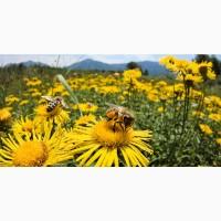 Поштою бджолопакети 2021, карпатка буковинка