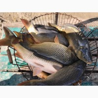 Продажа живого карпа! Живая рыба