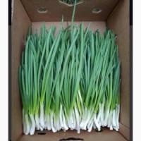 Продам зеленый лук сорт Штутгарт
