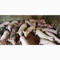 Продам поросят мясної породи Петрен