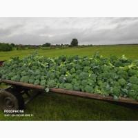 Продам броколі (брокколи)