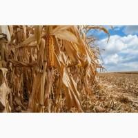 Семена кукурузы ДКС 3730 (DKC 3730) ФАО 280 Монсанто