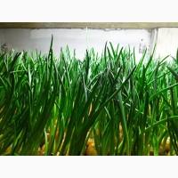 Продам зелену цибулю перо лук перо зелень