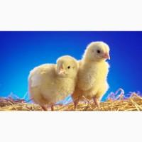 Цыплята бройлеров, кур несушек, уток, гусей, индюков
