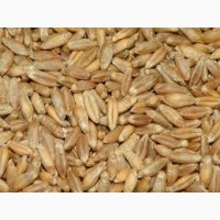 Закупаем тритикале пшеничный товарный.Рожь фуражную товарную.Продукцию некондиционную