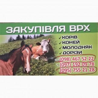 Куплю КРС (КОРОВЫ, БЫКИ, ЛОШАДИ) Живым весом, Житомир, Житомирская обл