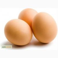 Инкубационное яйцо и цыплята кур несушек Хайсекс Браун