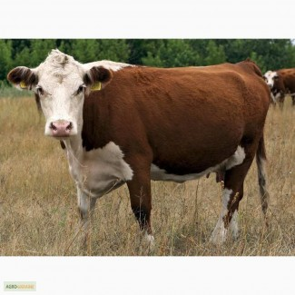 Купляємо КРС (Коровы, Бички, Телята) от хозяйств и населения