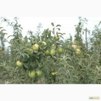 Продам сортовые яблоки Чемпион, Джона Голд, Элиза, Голден Делишес, Ренет Семеринко