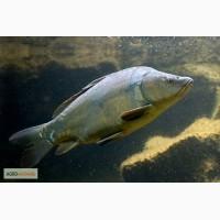 Продам живую рыбу: карп, сом